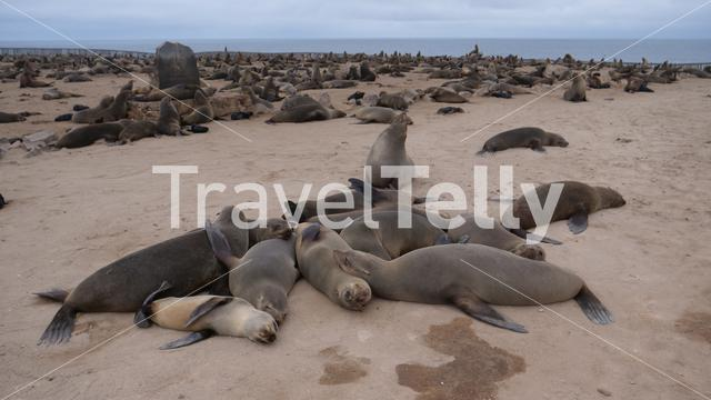 Sea lion colony at the coast of Cape Cross Seal Reserve in Namibia