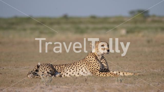Cheetah resting on the savanna of the Central Kalahari Game Reserve in Botswana