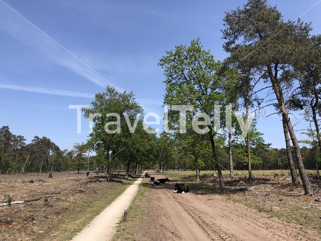 Cows resting on a sand road in the forest around Langelo, The Netherlands