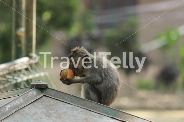 Monkey eating from a coconut on a roof in Ubud, Bali, Indonesia
