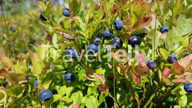 Blueberries in Geiranger national park Norway