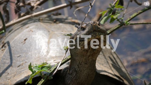 Close up from a turtle in pond at Pilanesberg Game Reserve South Africa