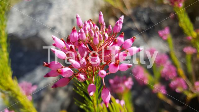 Pink flower at  Cederberg Wilderness Area in South Africa
