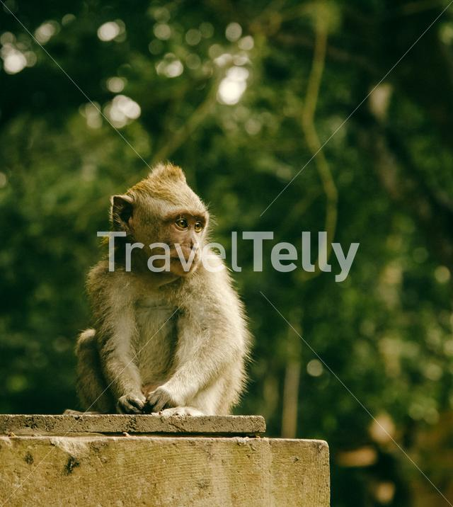 Small monkey sitting in the monkey forest in Bali