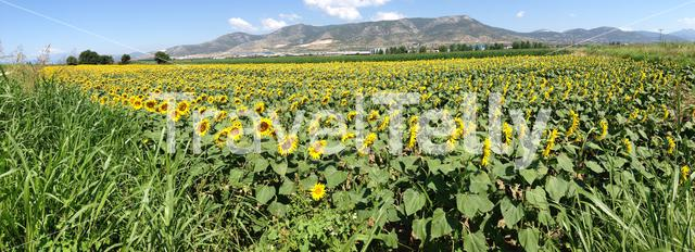 Panorama from a sunflowers field in Chaidefto Greece
