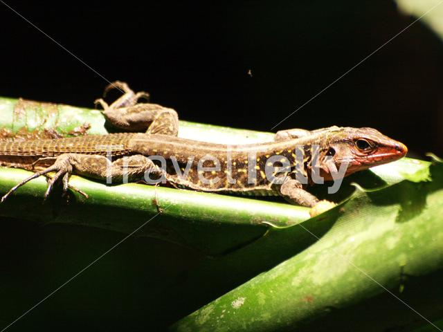 Whiptail lizard in Talamanca National Park Costa Rica