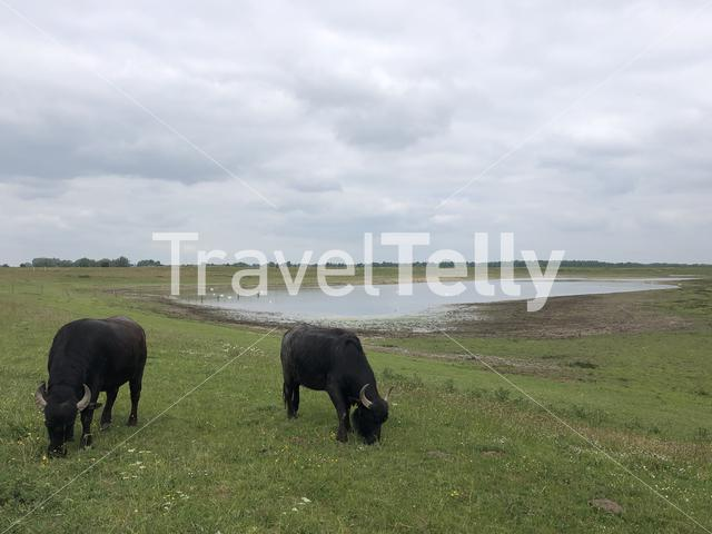 Domestic water buffalo at the Bislicher Insel nature reserve in Germany