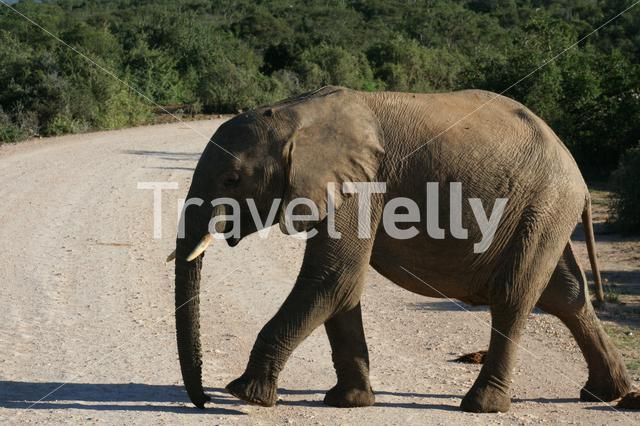 Baby elephant crossing the road in South Africa