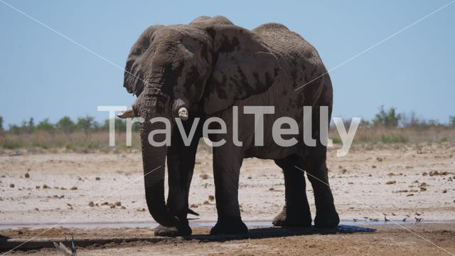 Eephant around an almost dry waterhole in Etosha National Park, Namibia