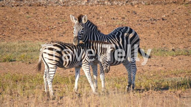 Mother and baby zebra at the savanna of Pilanesberg Game Reserve South Africa