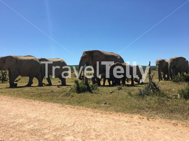 Herd of elephants walking towards the Hapoor Drinking Hole in Addo Elephant National Park South Africa