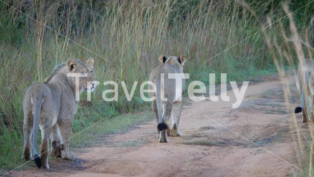 Lion family walking away in Waterberg South Africa