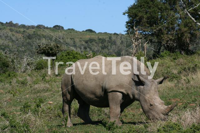 Rhino on the savanna in South Africa