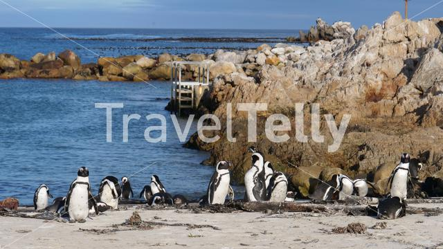 Penguins at Bettys Bay in South Africa