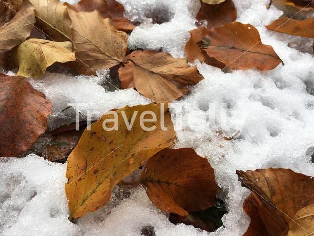 Leafs in the snow in Cheile Bicazului-Hasmas National Park Romania