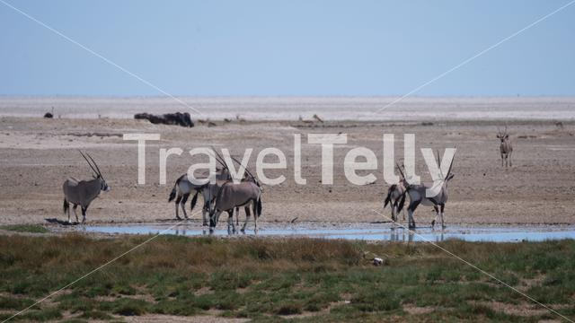 Herd of Gemsbok at a waterhole on a dry savanna in Etosha National Park, Namibia