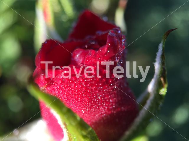 Macro shot from Fog drops on a red rose in The Netherlands