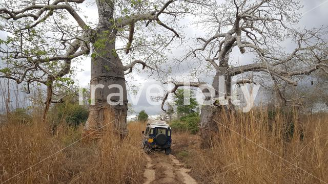 Baobab trees in Quiçama National Park Angola