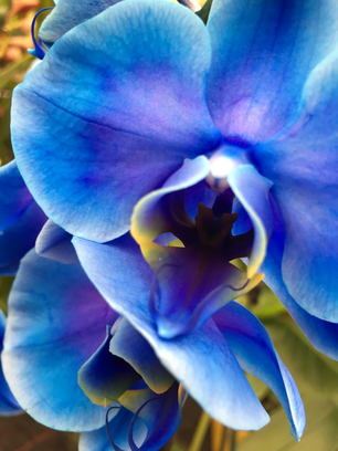 Blue manipulated orchid