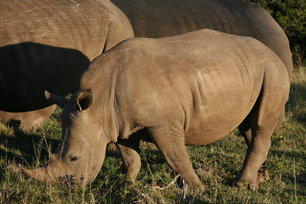 Baby rhino eating grass in South Africa