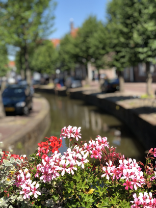 Flower on a canal in Franeker, Friesland The Netherlands