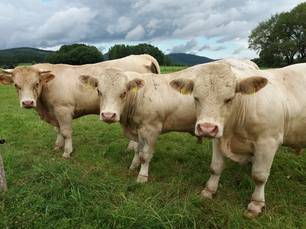 Pretty cows in Germany