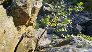 Common Wall Lizard on a rock in the ardennes, Belgium