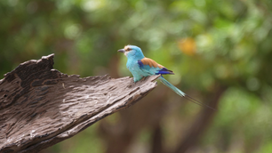 Lilac-breasted roller on a branch in the Gambia