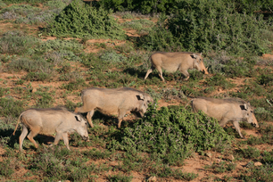 Herd of warthogs in South Africa