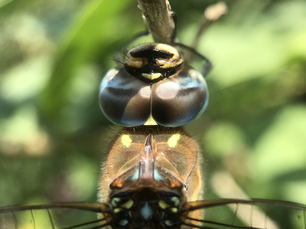Macro of a colourful dragonfly