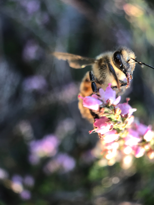 Bee flying away from heather