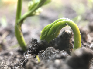 Young plant coming out soil