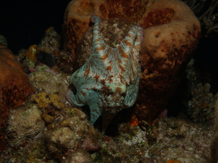 Octopus in the Mesoamerican Reef Mexico