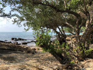 Trees at the coast of Koh Samet Thailand
