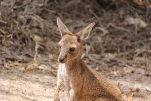 Close up from a baby kangaroo at Lucky Bay in Cape Le Grand National Park Australia