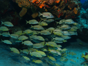 Group of Snappers in the Mesoamerican Reef Mexico