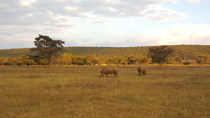Two rhinos in waterberg game park south africa