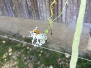 Little brown insect on a white flower in Bohol Philippines