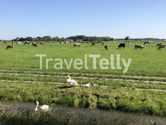 Cows and swans around Witmarsum, Friesland The Netherlands