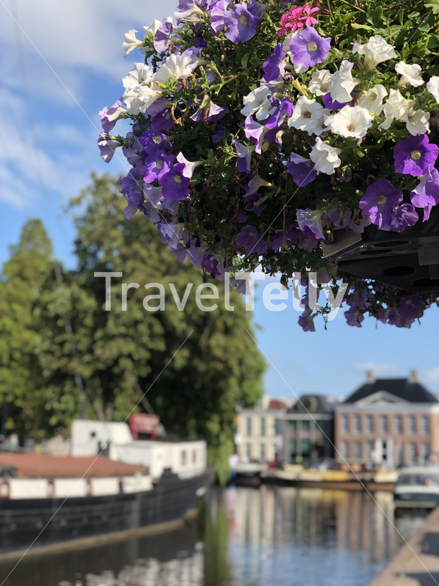 Flower with in the background a canal in Heerenveen, Friesland The Netherlands