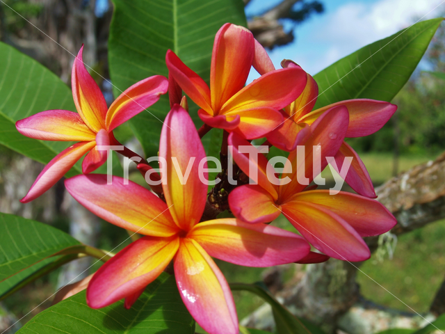 Plumeria flower at Umuna Island Tonga