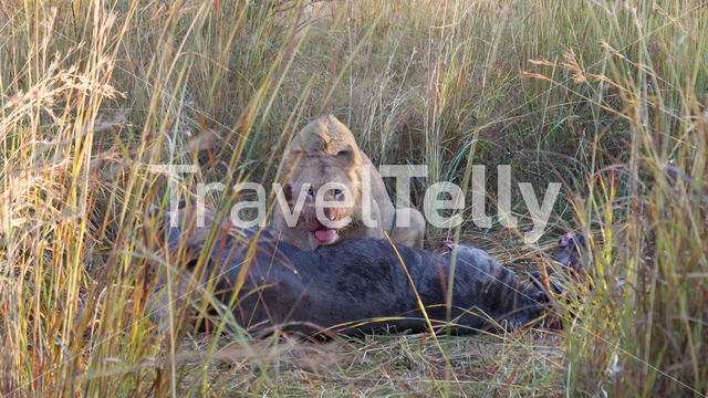 Lion eating from a wildebeest in Waterberg national park South Africa